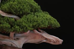 Juniperus Otoigawa from Fabio Mantovani